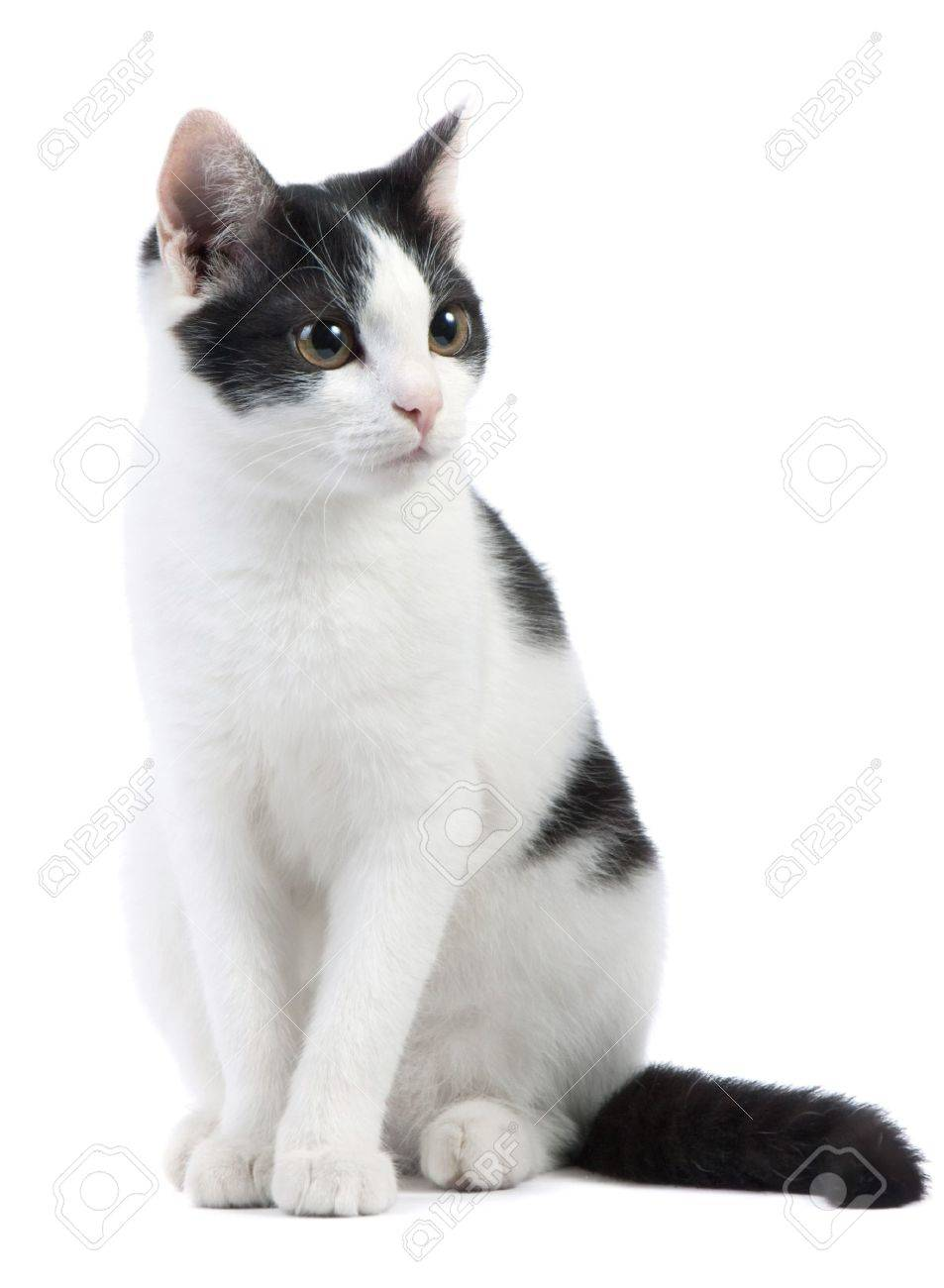 cute black and white kitten on a white background Stock Photo - 8032643