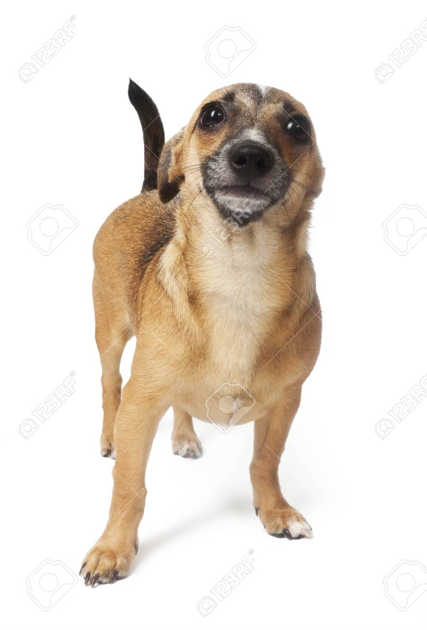 small dog (Russian toy terrier) over white Stock Photo - 9841300