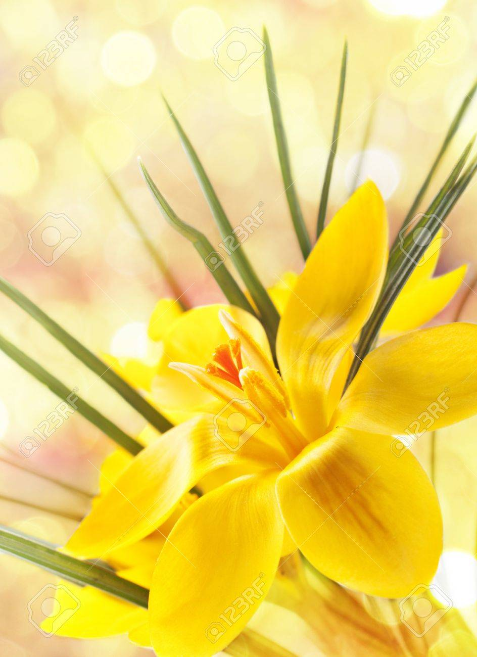 Nice Background For Your Design With A Yellow Crocus Flower Stock