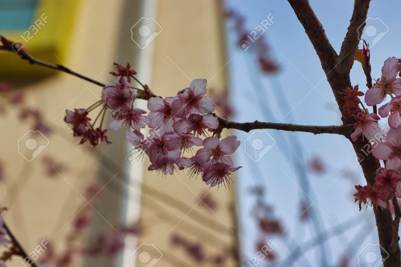 Cheery blossom blooming in Baehwa School in Busan, South Korea, Asia - 166957422
