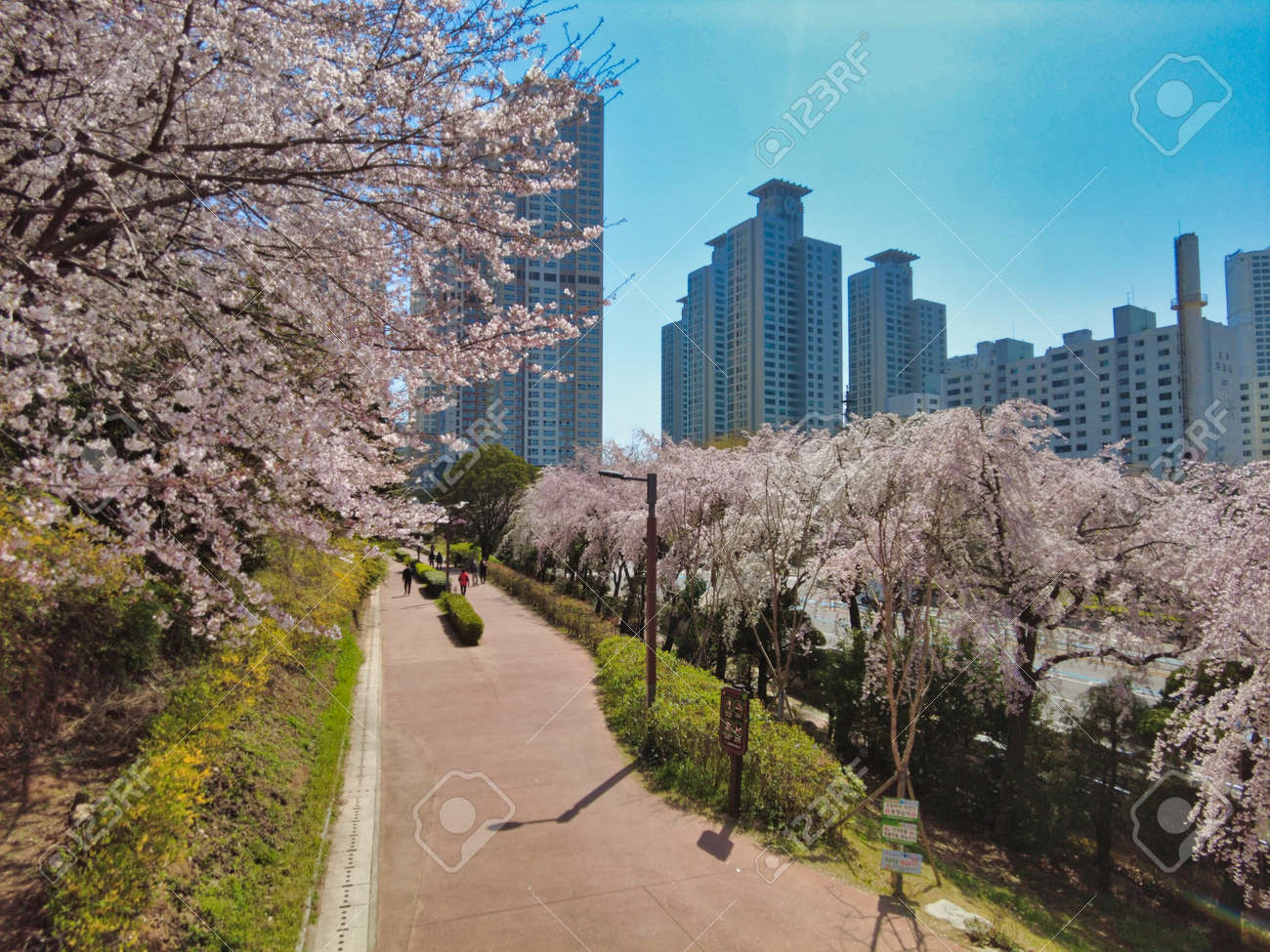 Cheery blossom blooming in haeundae, Busan, South Korea, Asia - 167142911