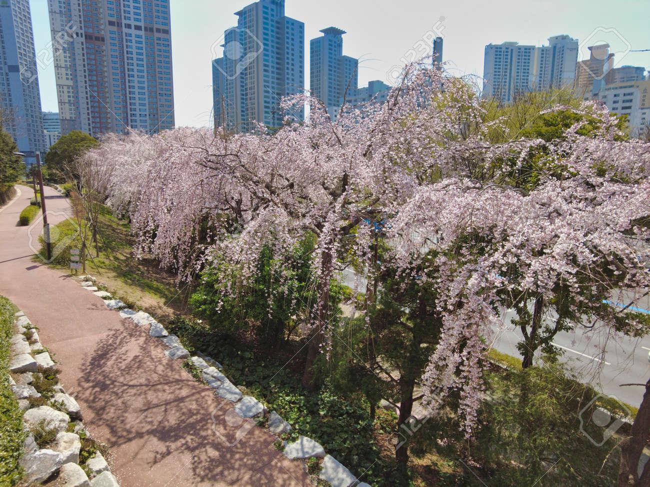 Cheery blossom blooming in haeundae, Busan, South Korea, Asia - 167143045