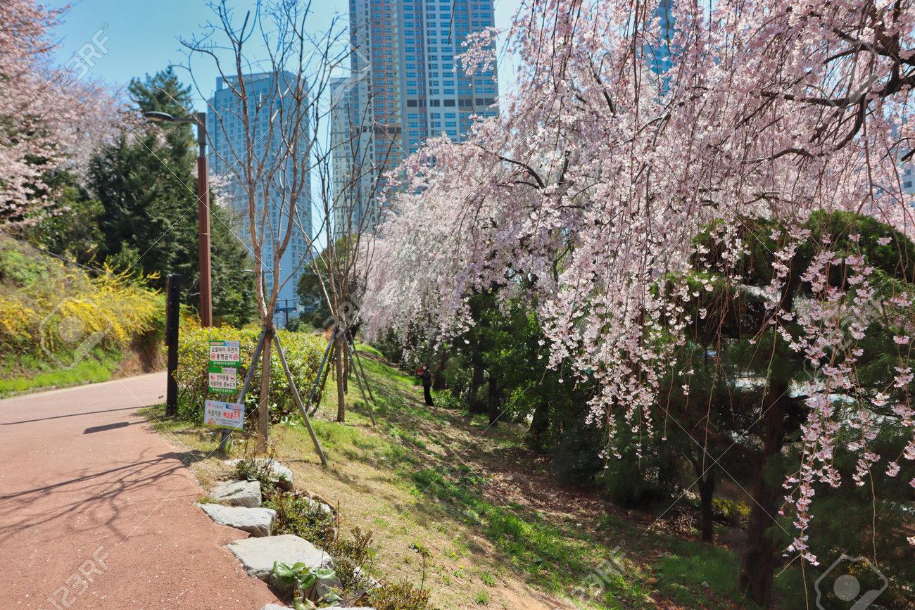 Cheery blossom blooming in haeundae, Busan, South Korea, Asia - 167142946