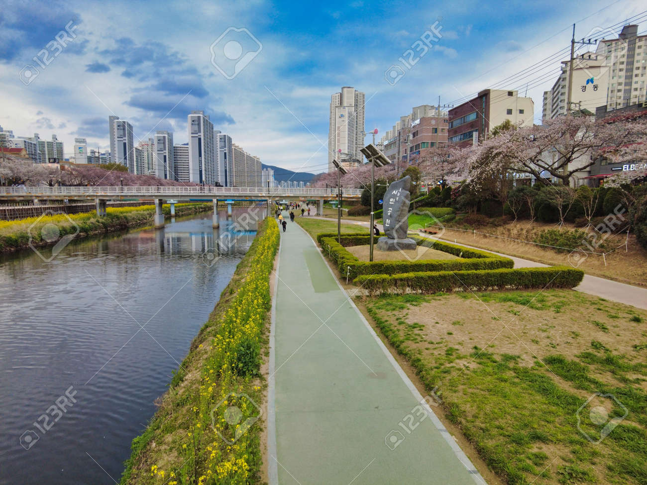Cherry blossom Blooming in Oncheoncheon Stream, Busan, South Korea, Asia. - 167337656