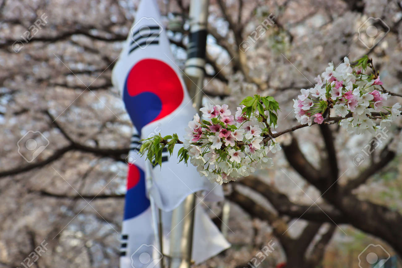 Cherry blossom Blooming in Oncheoncheon Stream, Busan, South Korea, Asia. - 167337563