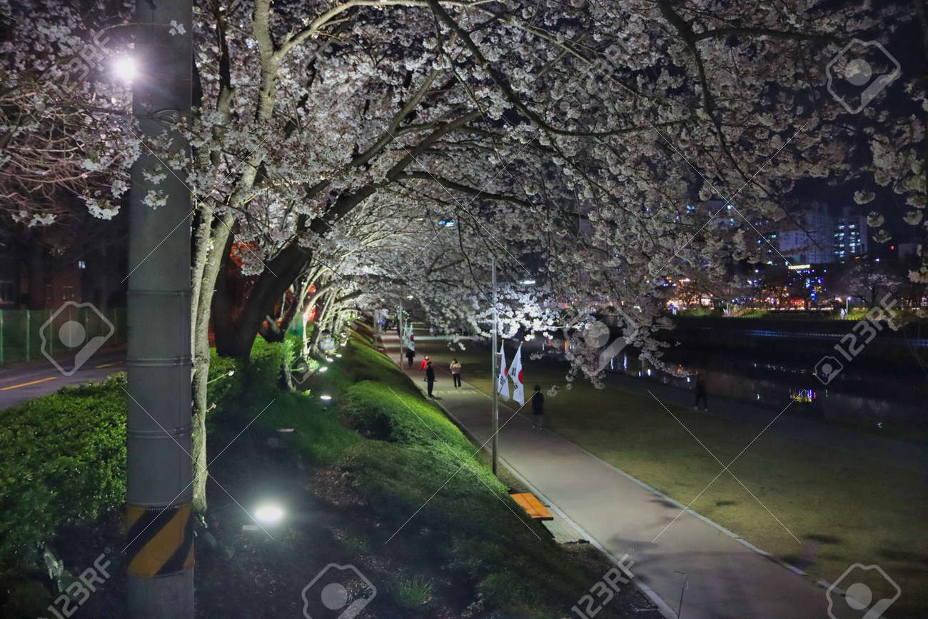 Night view of spring oncheoncheon stream, Busan, South Korea, Asia. - 167342901