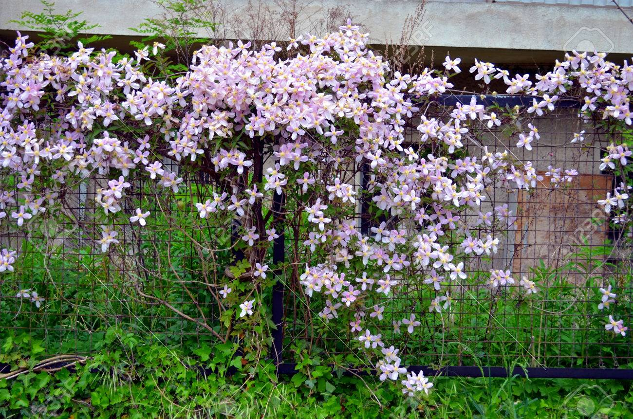 Pink Clematis Flowers Climbing On Garden Gate Stock Photo Picture