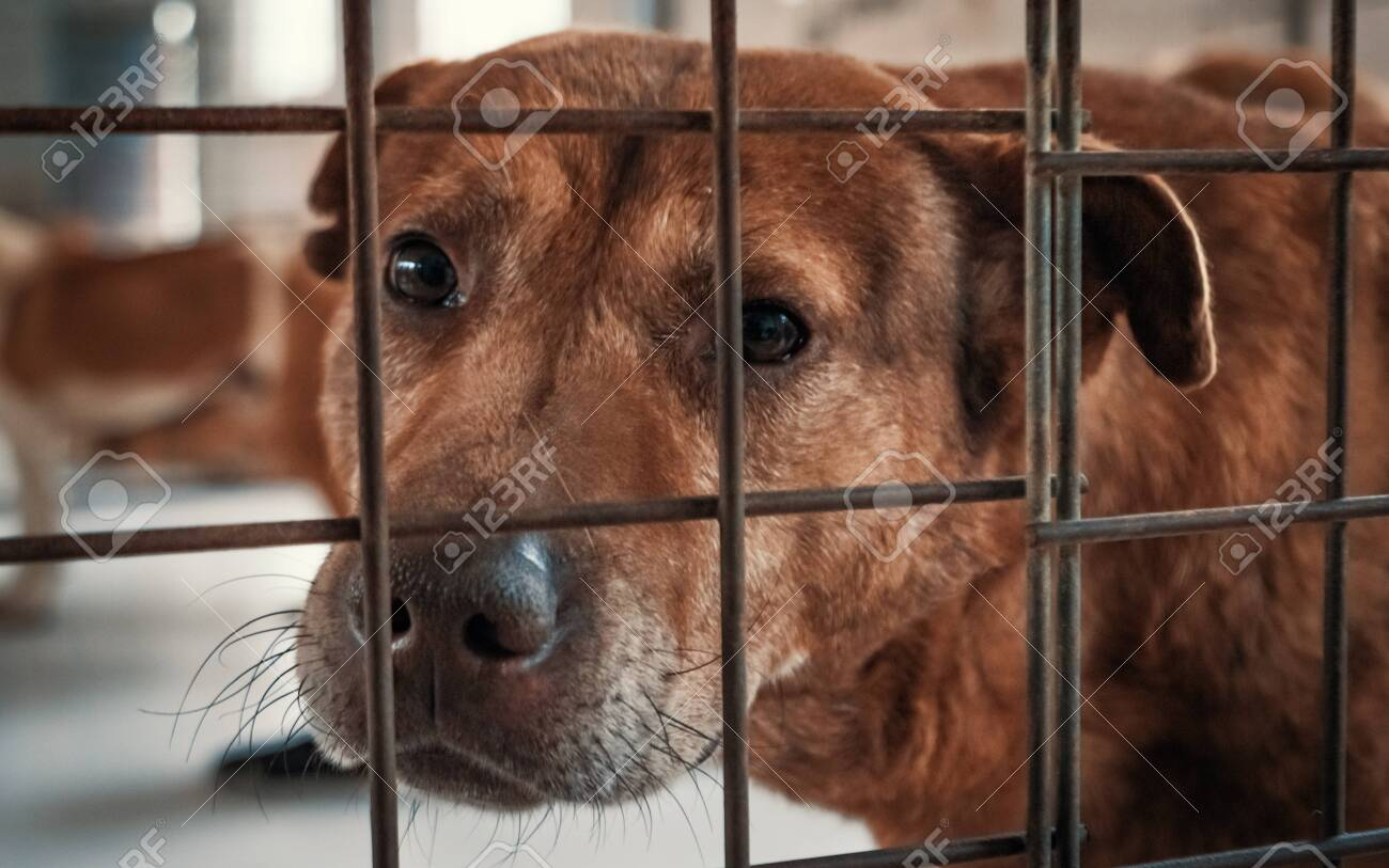 Portrait of sad dog in shelter behind fence waiting to be rescued and adopted to new home. - 135987392