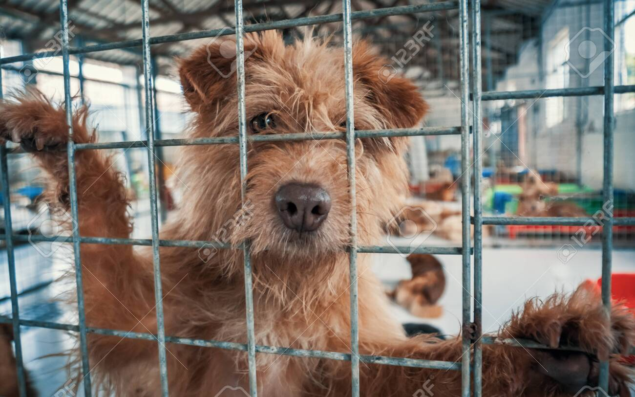 Portrait of sad dog in shelter behind fence waiting to be rescued and adopted to new home. - 135987892
