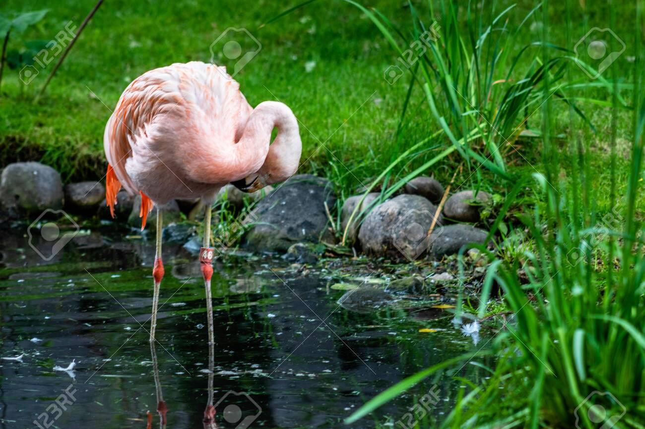 American flamingo wading in a pond. Calgary Zoo, Calgary, Alberta, Canada - 132135107