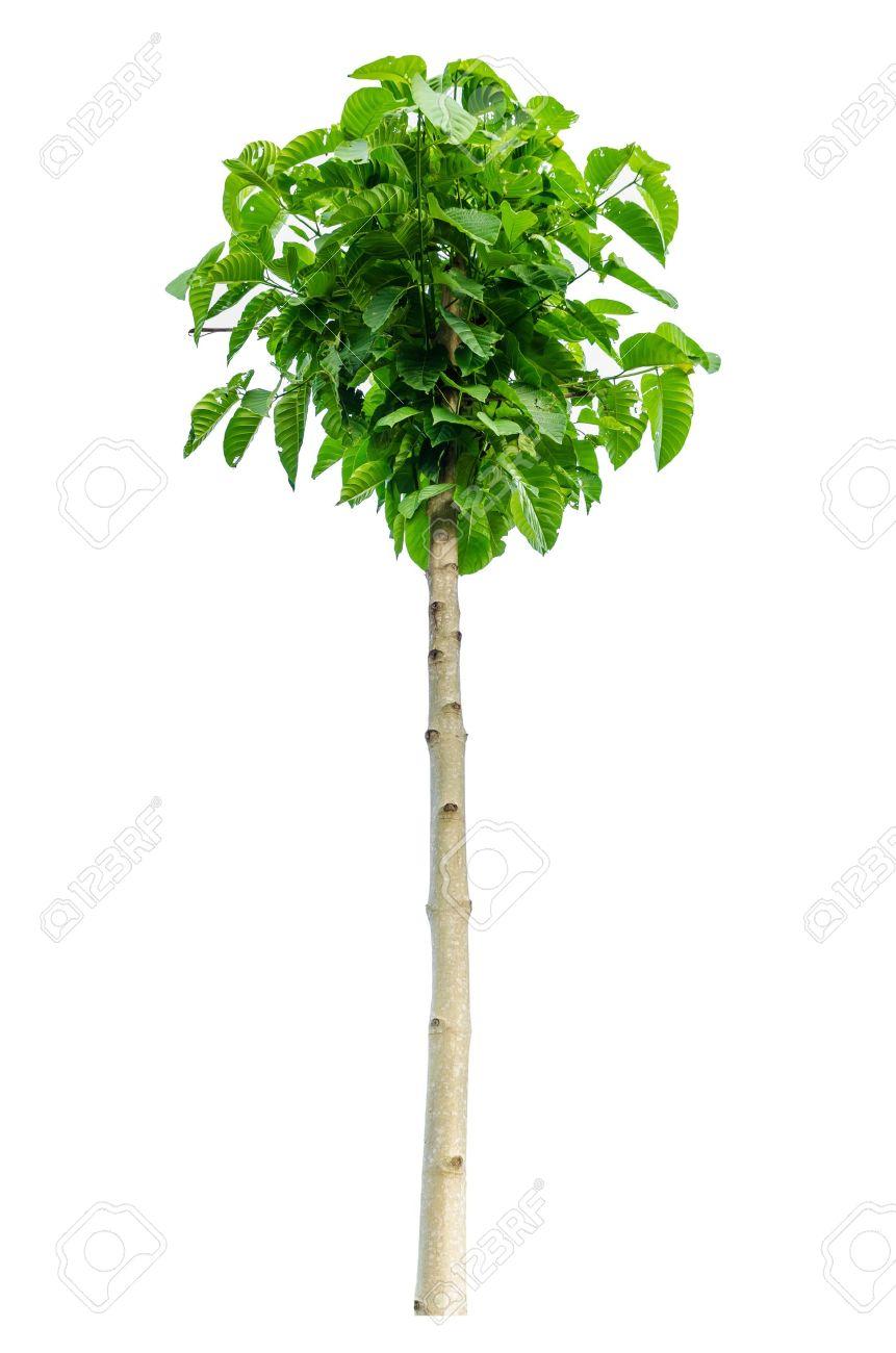 Teakbaum frucht  Teak Baum Auf Weißem Hintergrund Lizenzfreie Fotos, Bilder Und Stock ...