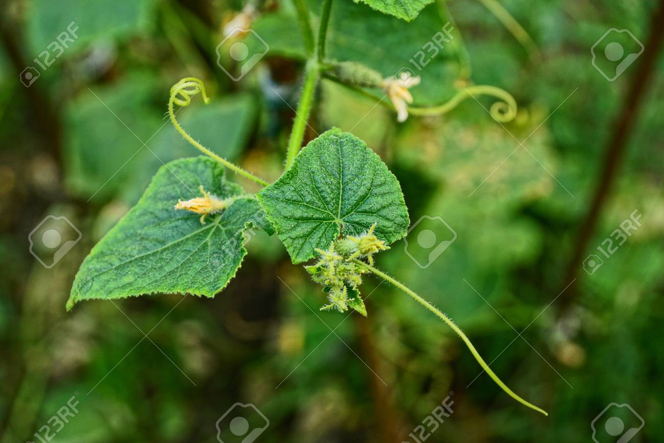 Green Leaves And Yellow Flowers Of Cucumber Bush On The Garden