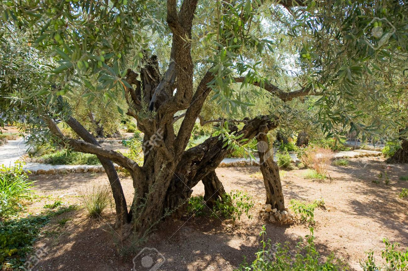 Old Olive Trees In The Garden Of Gethsemane On The Mount Of Olives ...