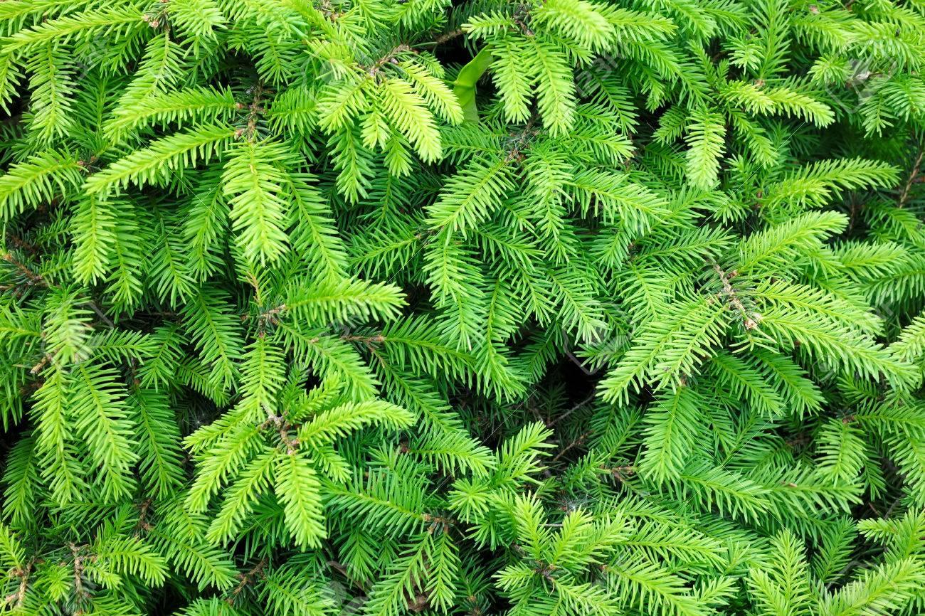 針葉樹の薪の特性