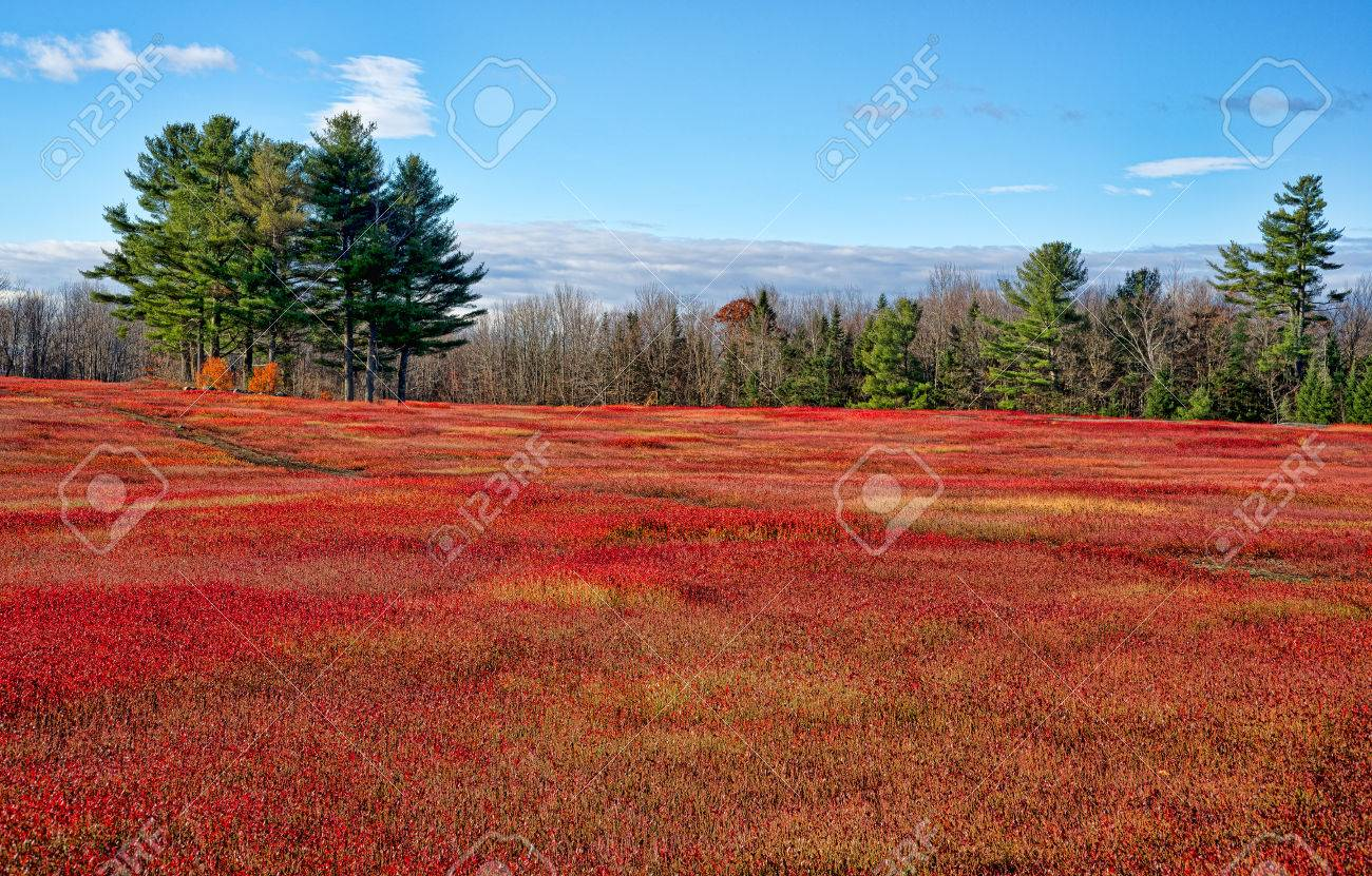 A Large Field Of Blueberry Bushes As Their Leaves Turn Red In