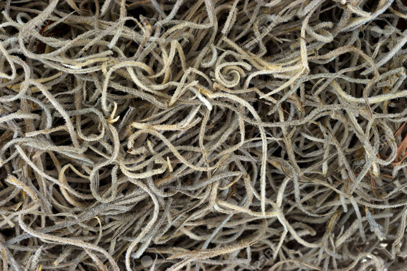 Spanish moss for crafts - A Very Close View Of Dried Spanish Moss Used For Art Crafts And Floral