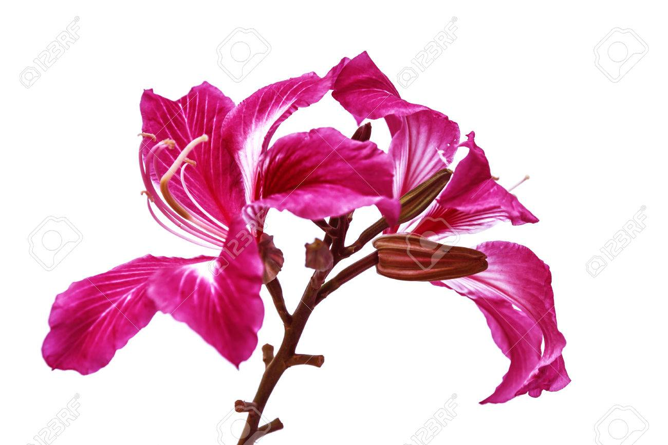 Hong Kong Orchid Flower With White Background Stock Photo Picture