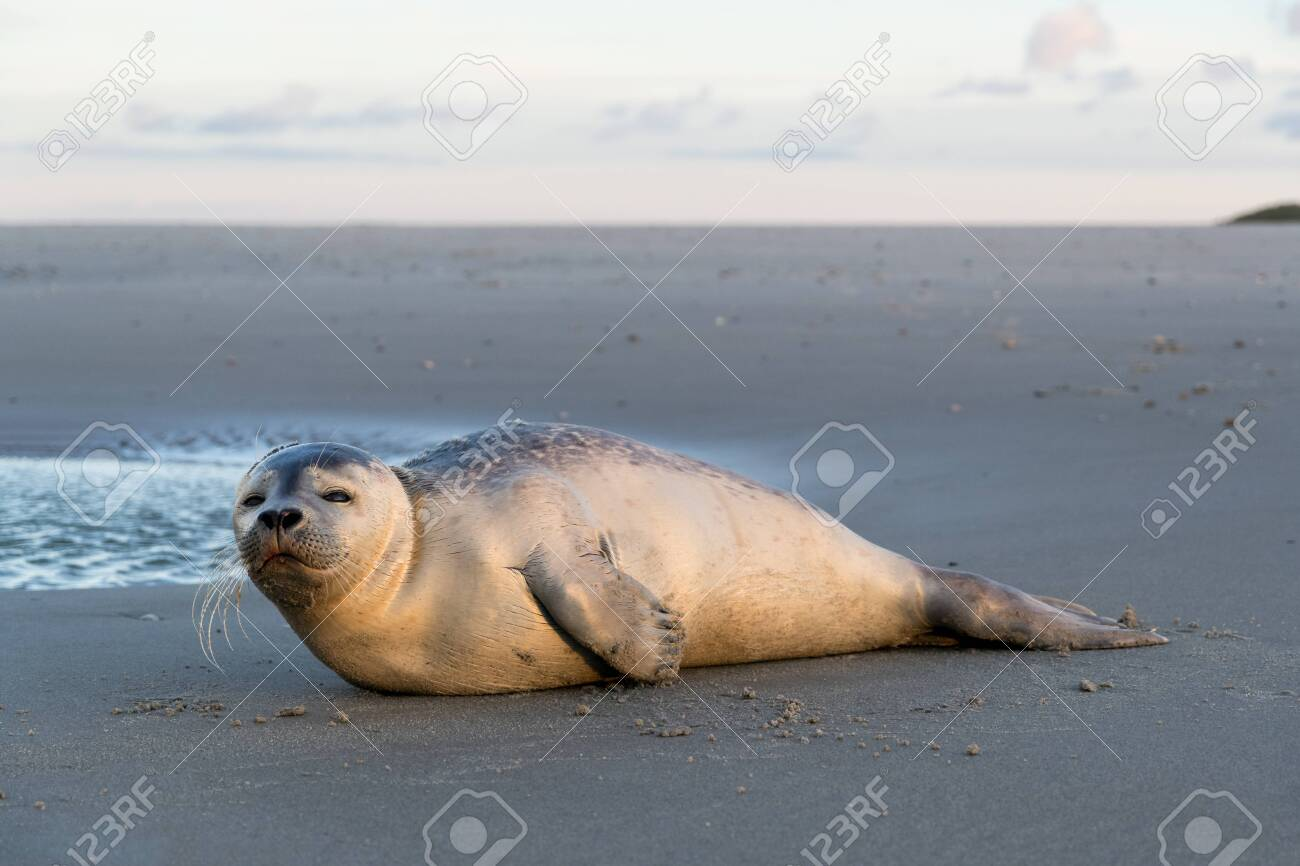 young harbor seal at the beach of the Dutch island of Texel - 120545138