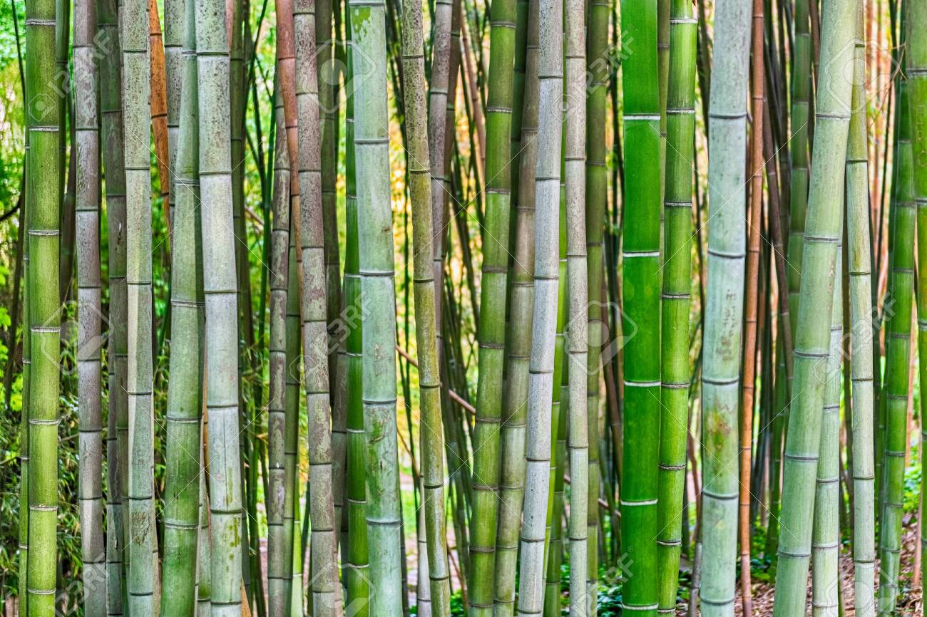 Background With Foliage Pattern Of Bamboo Trees In A Grove Or