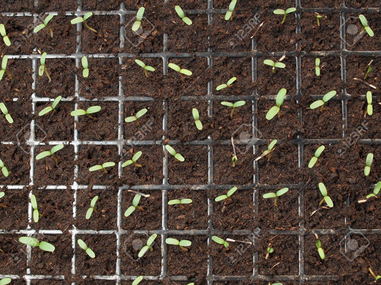 Young Seedling Marigold Plant In Plastic Seed Tray Stock Photo