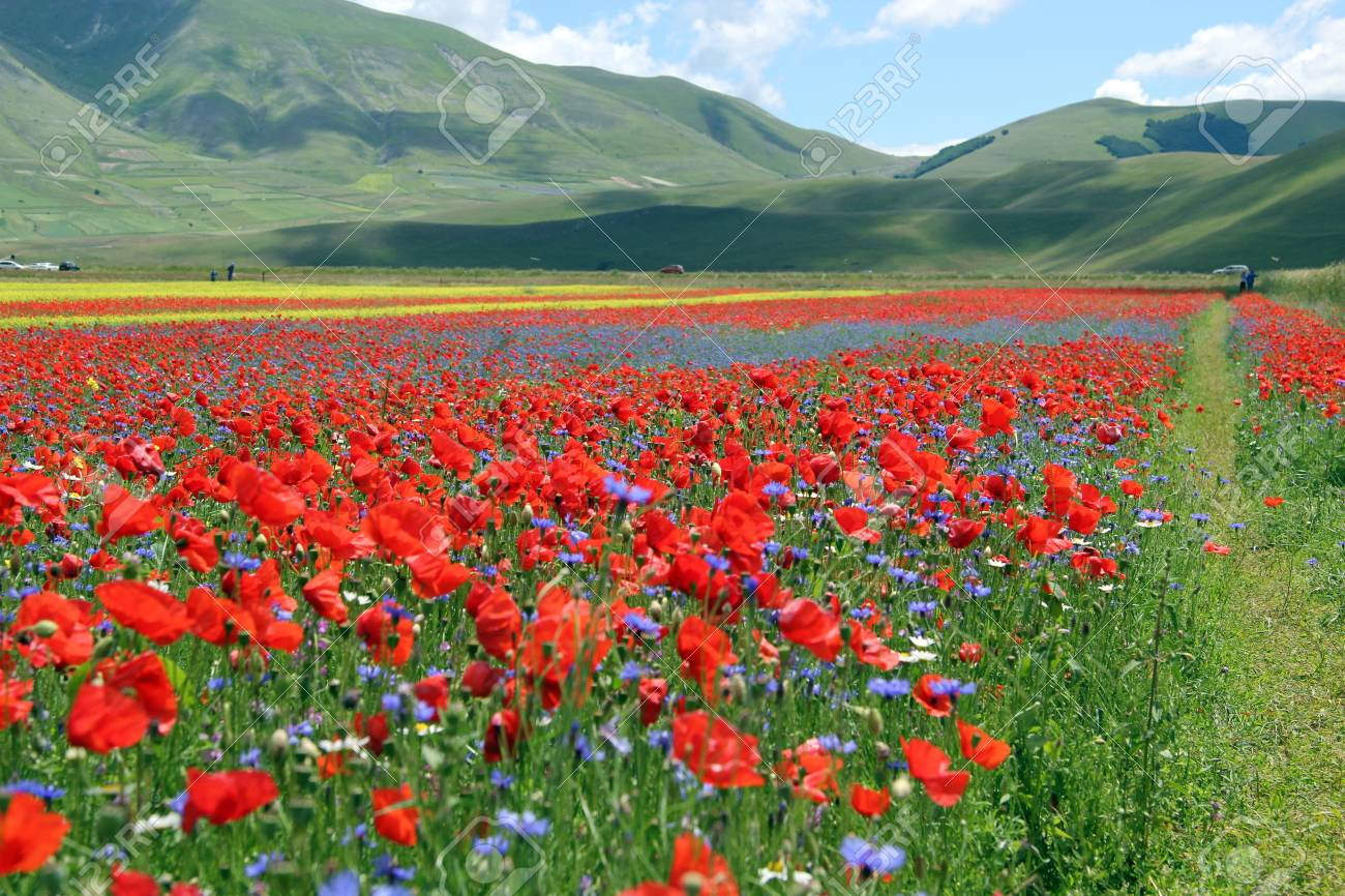 Field Of Poppy Flowers Stock Photo Picture And Royalty Free Image