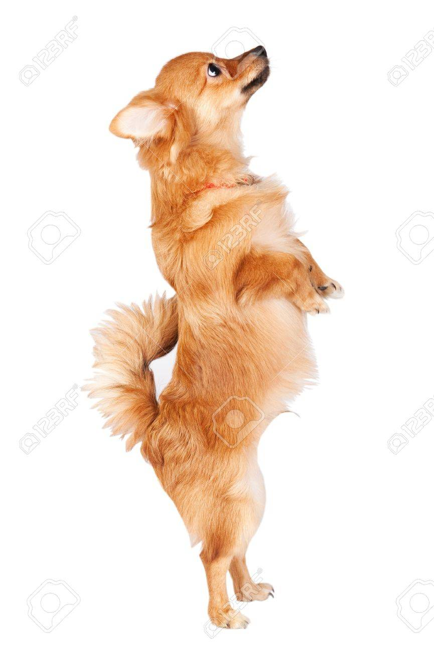 Cute dog jumping over a white background Stock Photo - 15456672