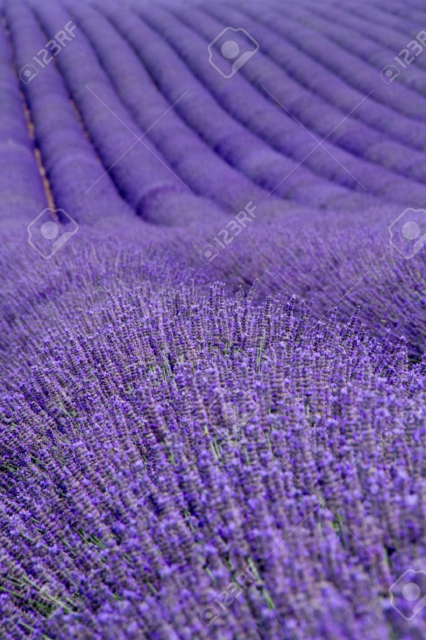 Lavender fields  near Valensole in Provence, France Stock Photo - 16054465
