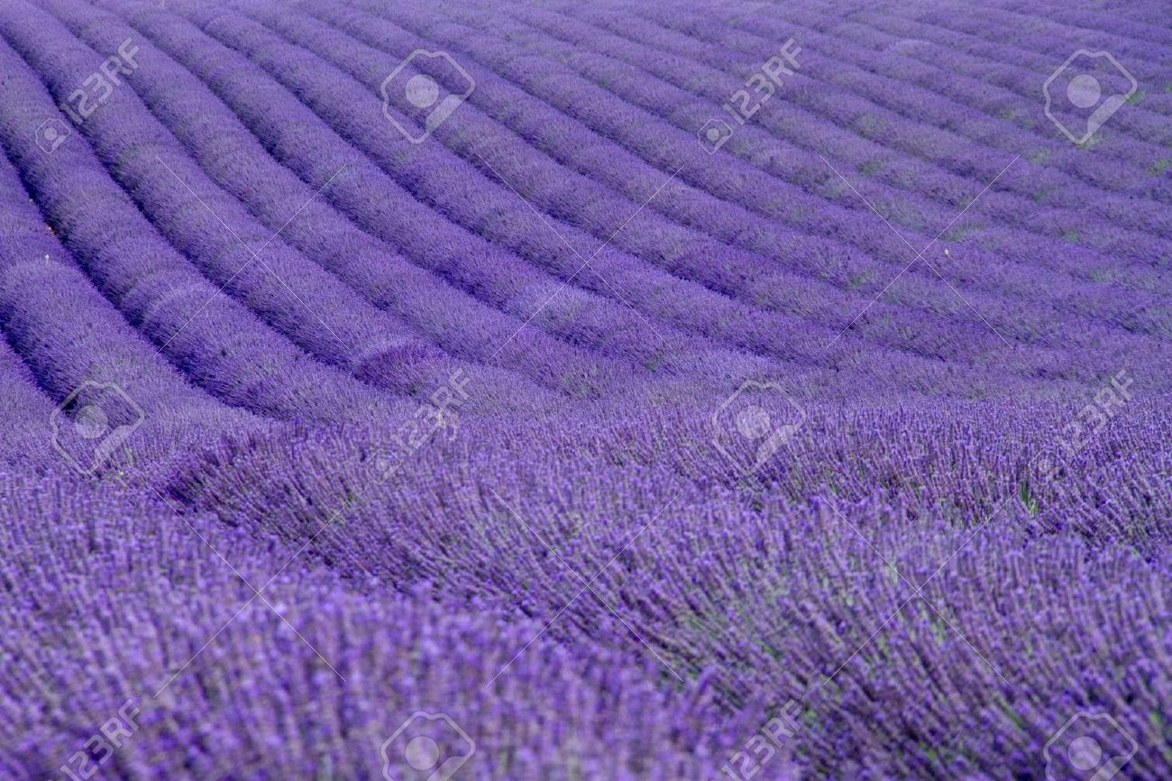 Lavender fields  near Valensole in Provence, France Stock Photo - 16054489