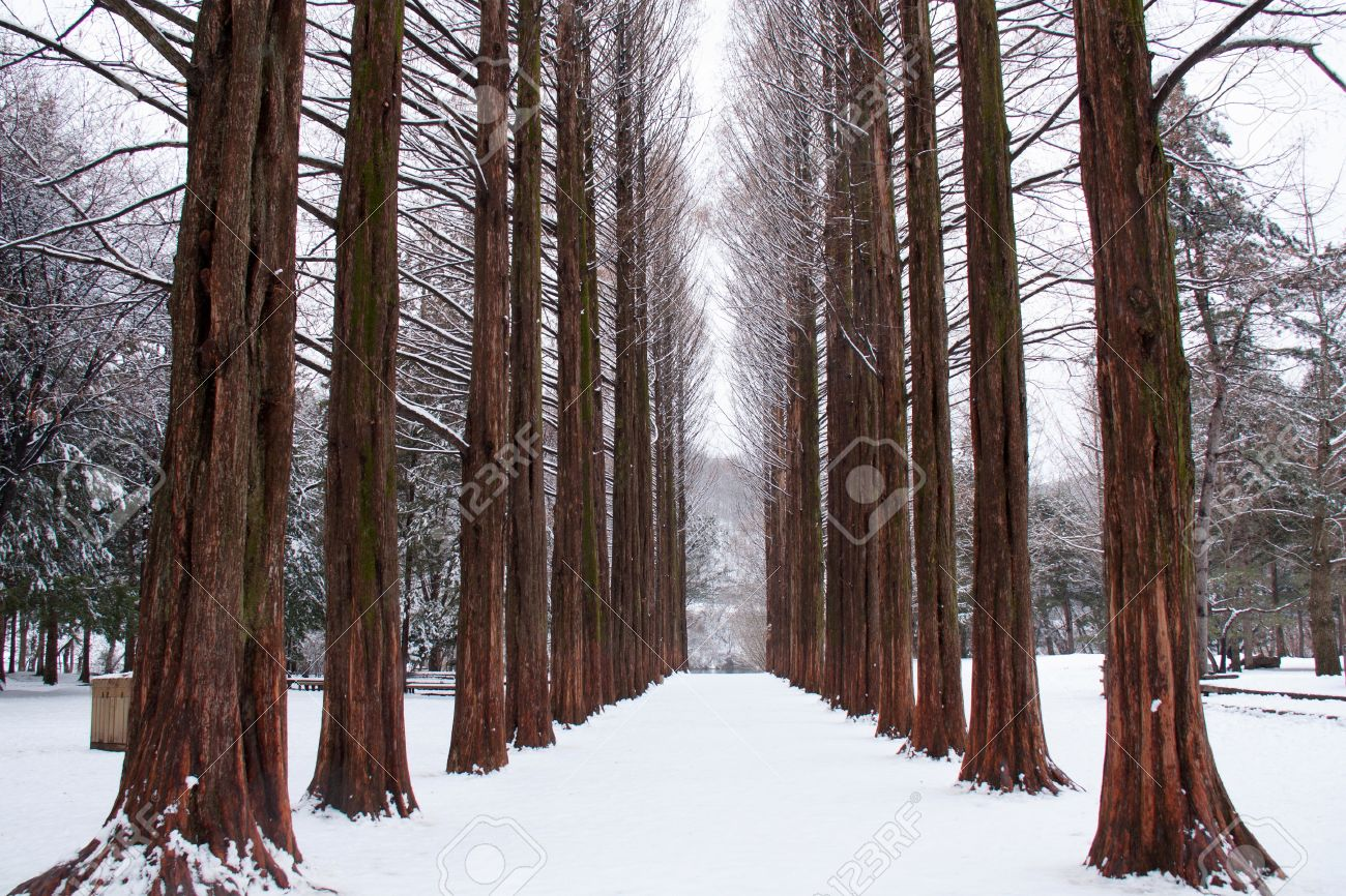 Row of pine trees at Nami island, Korea Stock Photo - 16054536