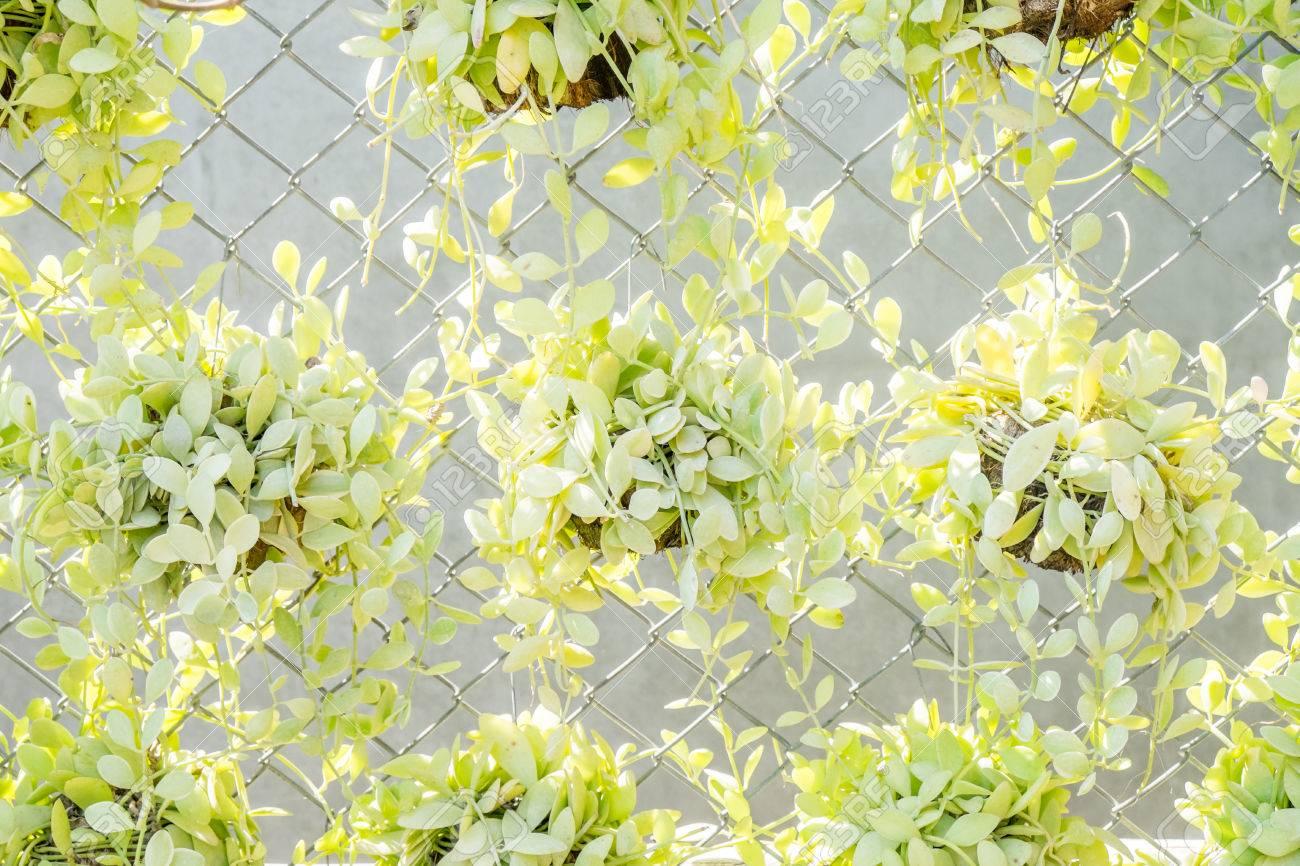 Green Creeper Plant (Dischidia Nummularia Variegata ) Stock Photo ...
