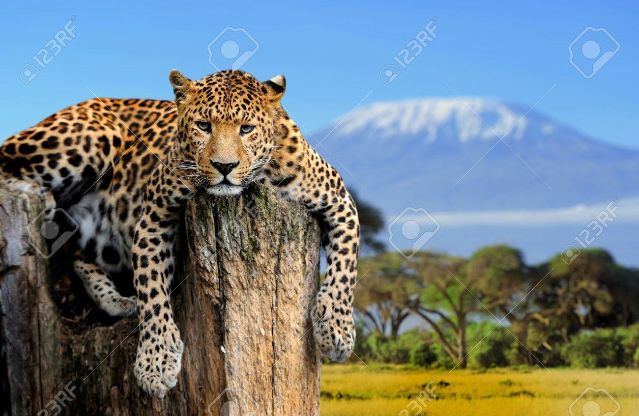 Leopard sitting on a tree on a background of Mount Kilimanjaro Standard-Bild - 37378230
