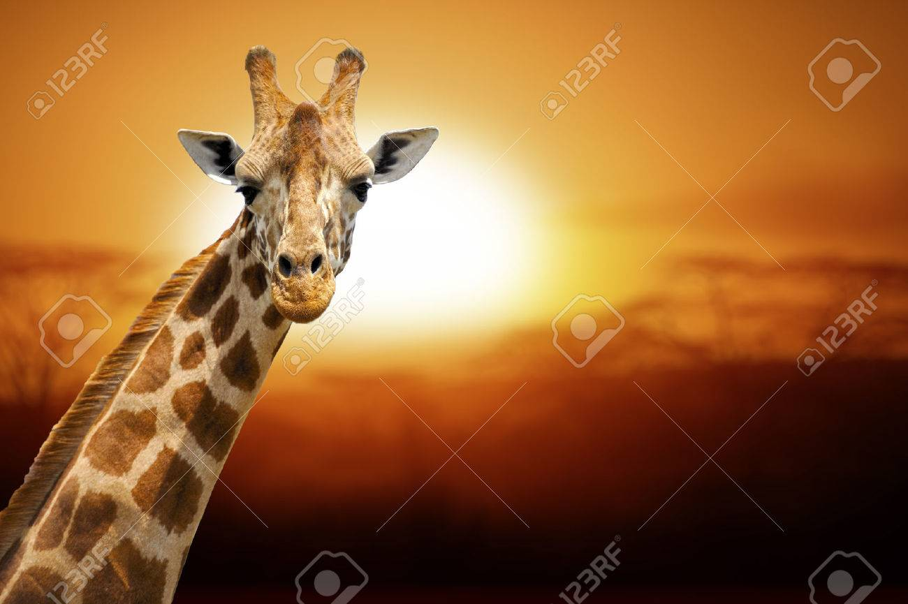 Giraffe on sunset, Amboseli national park Kenya Standard-Bild - 37378458
