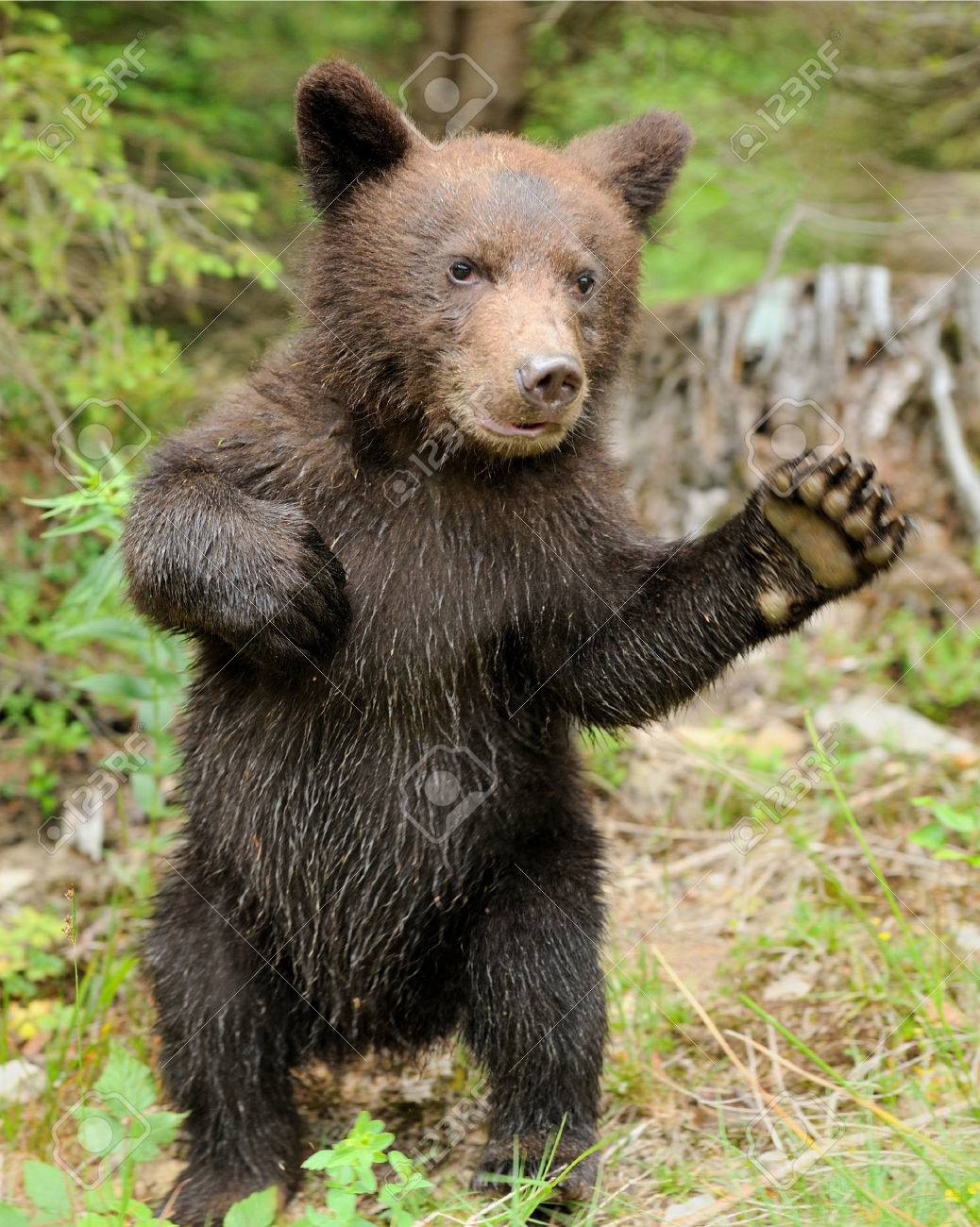 Brown bear cub in a forest Standard-Bild - 37413925
