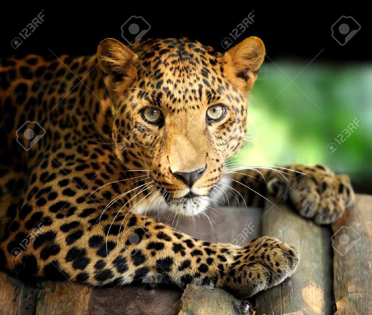 Leopard Standard-Bild - 37413773