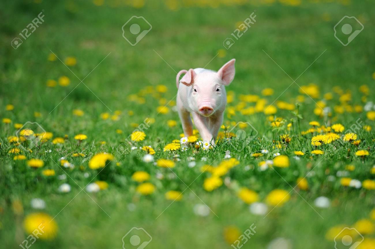 Young pig on a spring green grass Standard-Bild - 37413611
