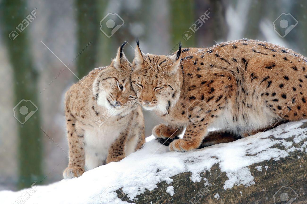 Beautiful wild lynx in winter day Standard-Bild - 37413519
