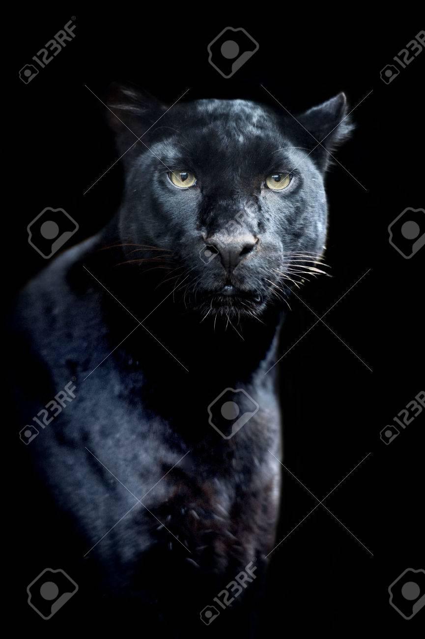 Black leopard Standard-Bild - 37848171