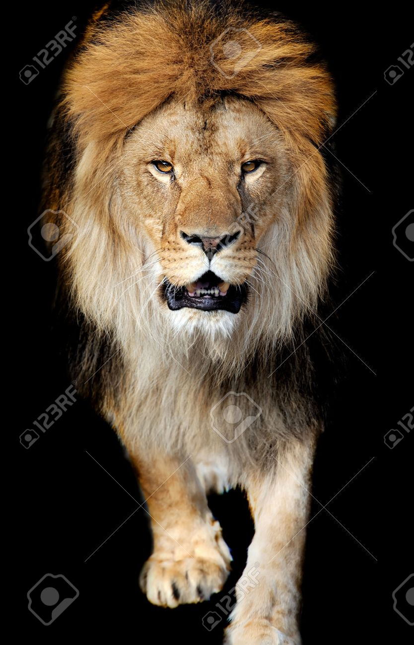 Lion portrait on black background Standard-Bild - 37849389