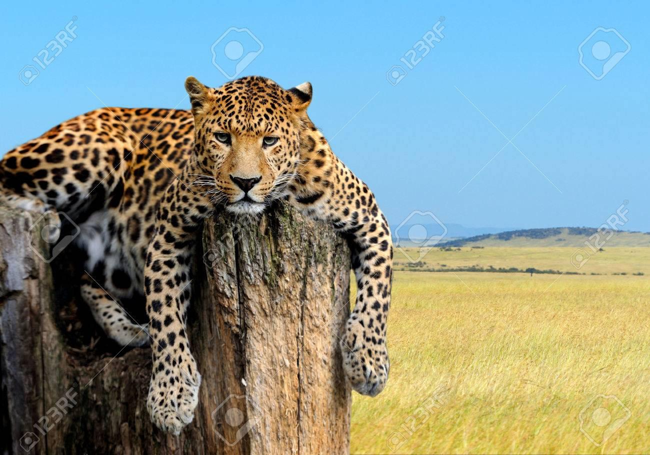 Leopard sitting on a tree on nature background Standard-Bild - 38060851
