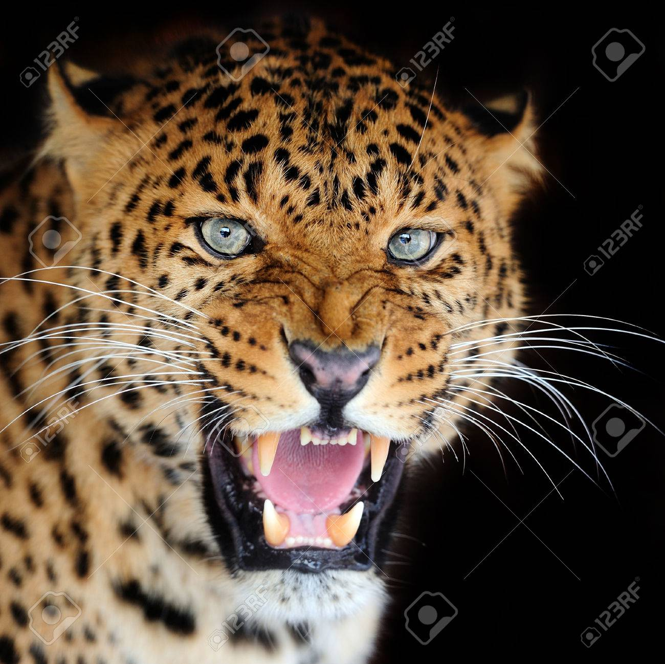 Leopard portrait on dark background Standard-Bild - 38877770