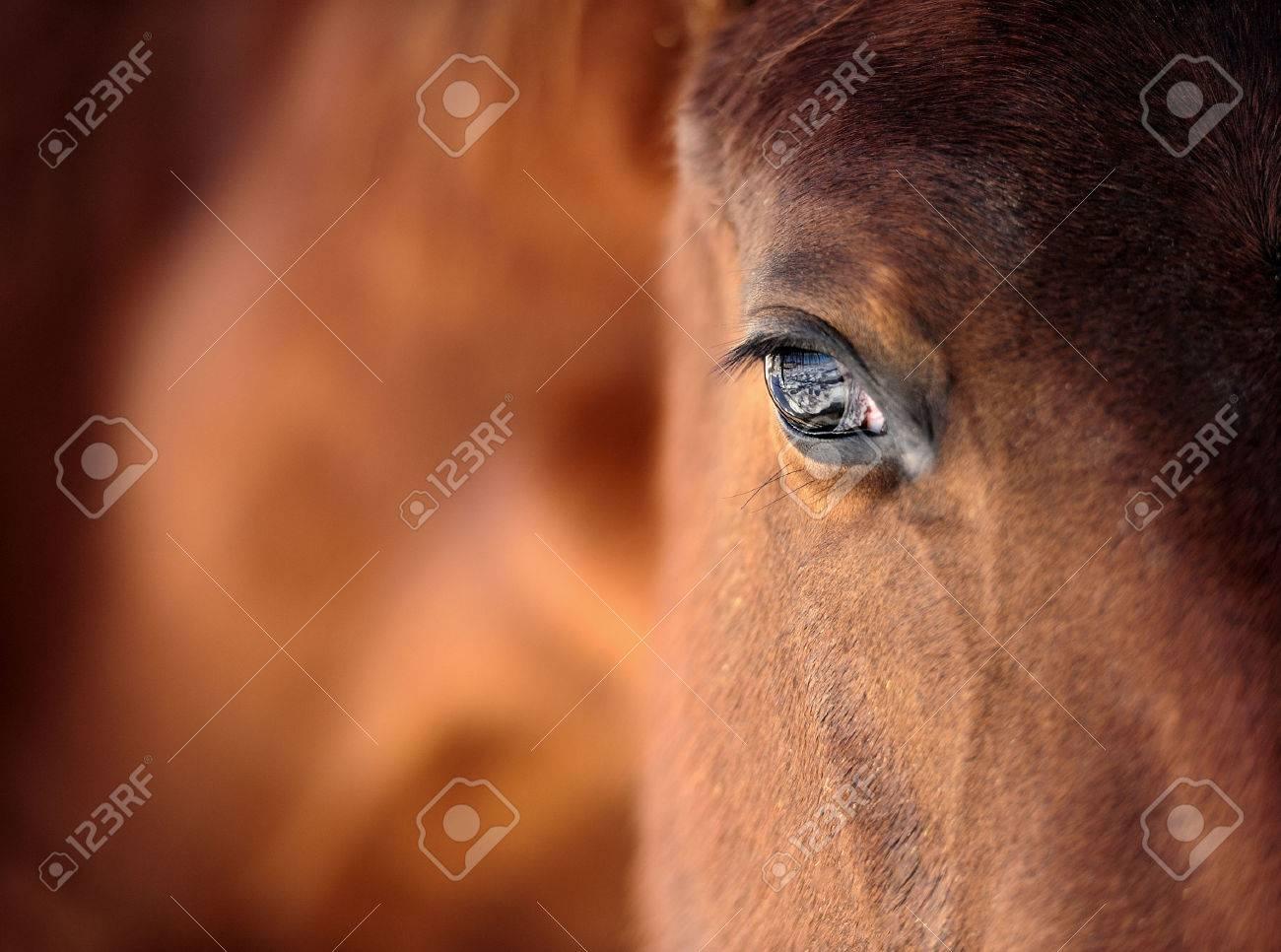 Eye of Arabian bay horse Standard-Bild - 39684853