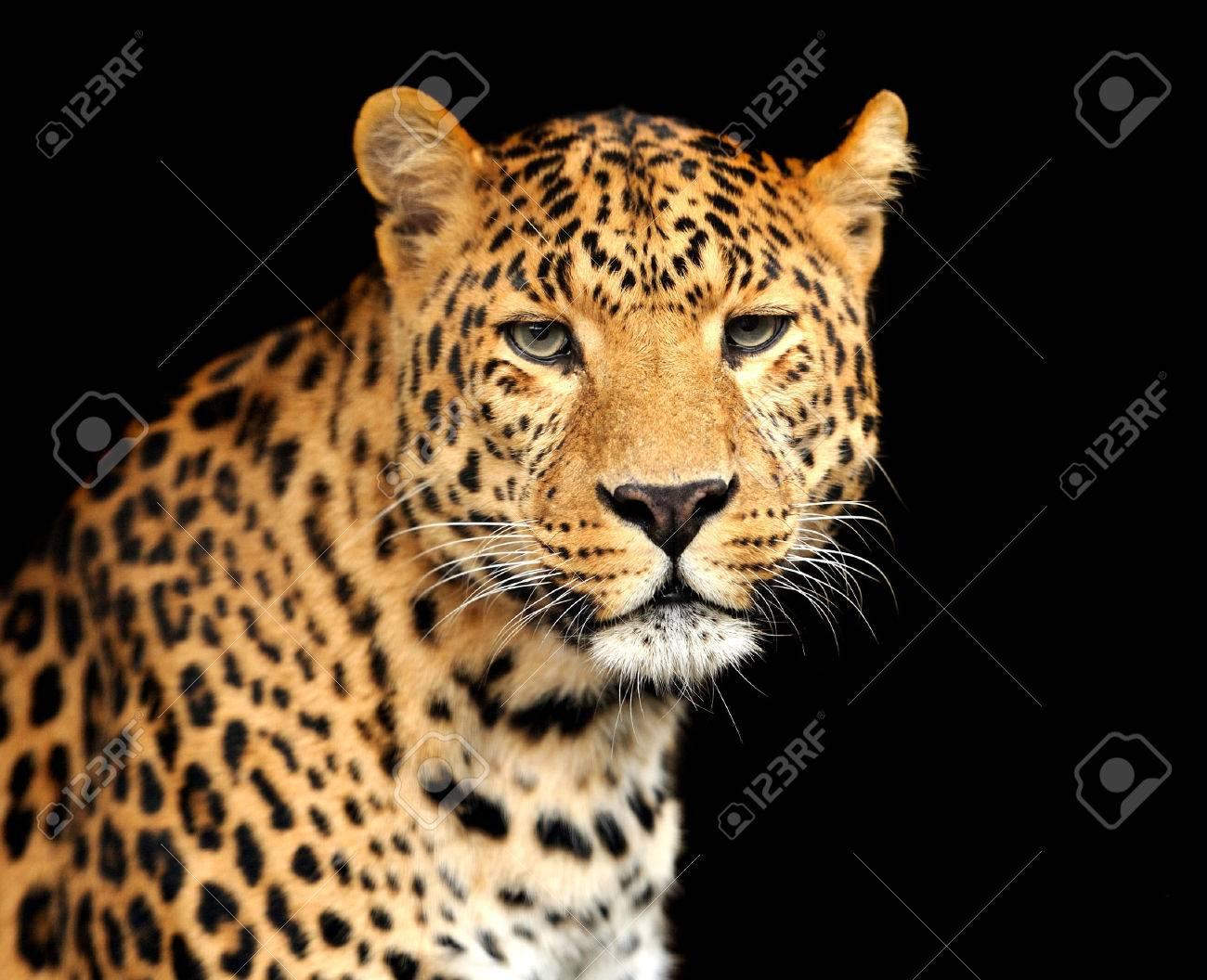 Leopard Standard-Bild - 39685034