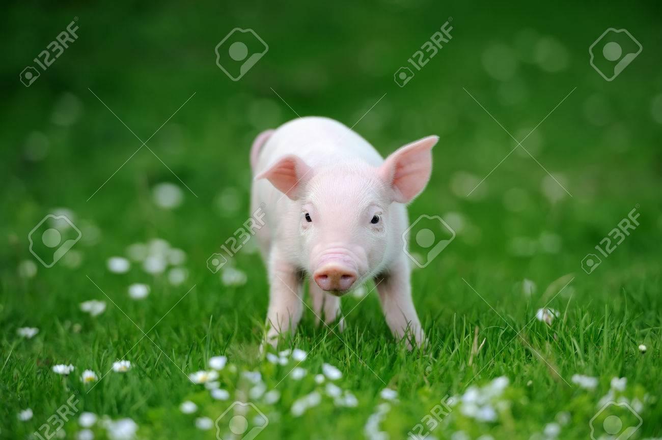 Young pig in a spring green grass Standard-Bild - 39685173