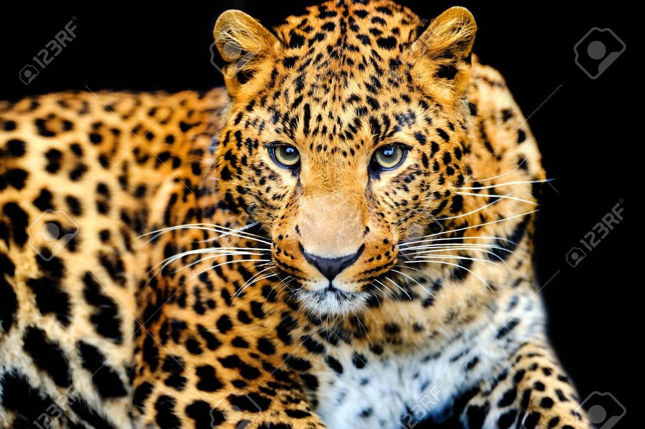 Angry wild leopard on black background Standard-Bild - 39960212