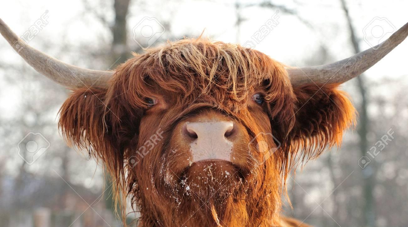 Close-up beautiful portrait scottish cattle Standard-Bild - 39960217