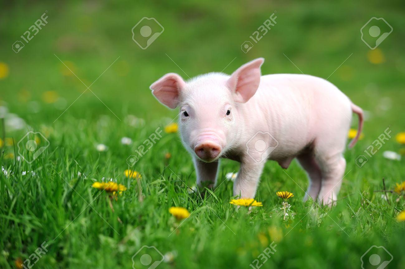 Young pig on a spring green grass Standard-Bild - 40040429