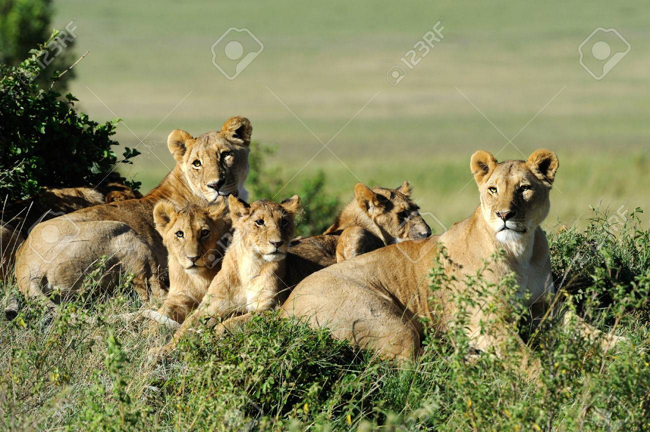 Beautiful Lion in the grass of Masai Mara, Kenya Standard-Bild - 40040868