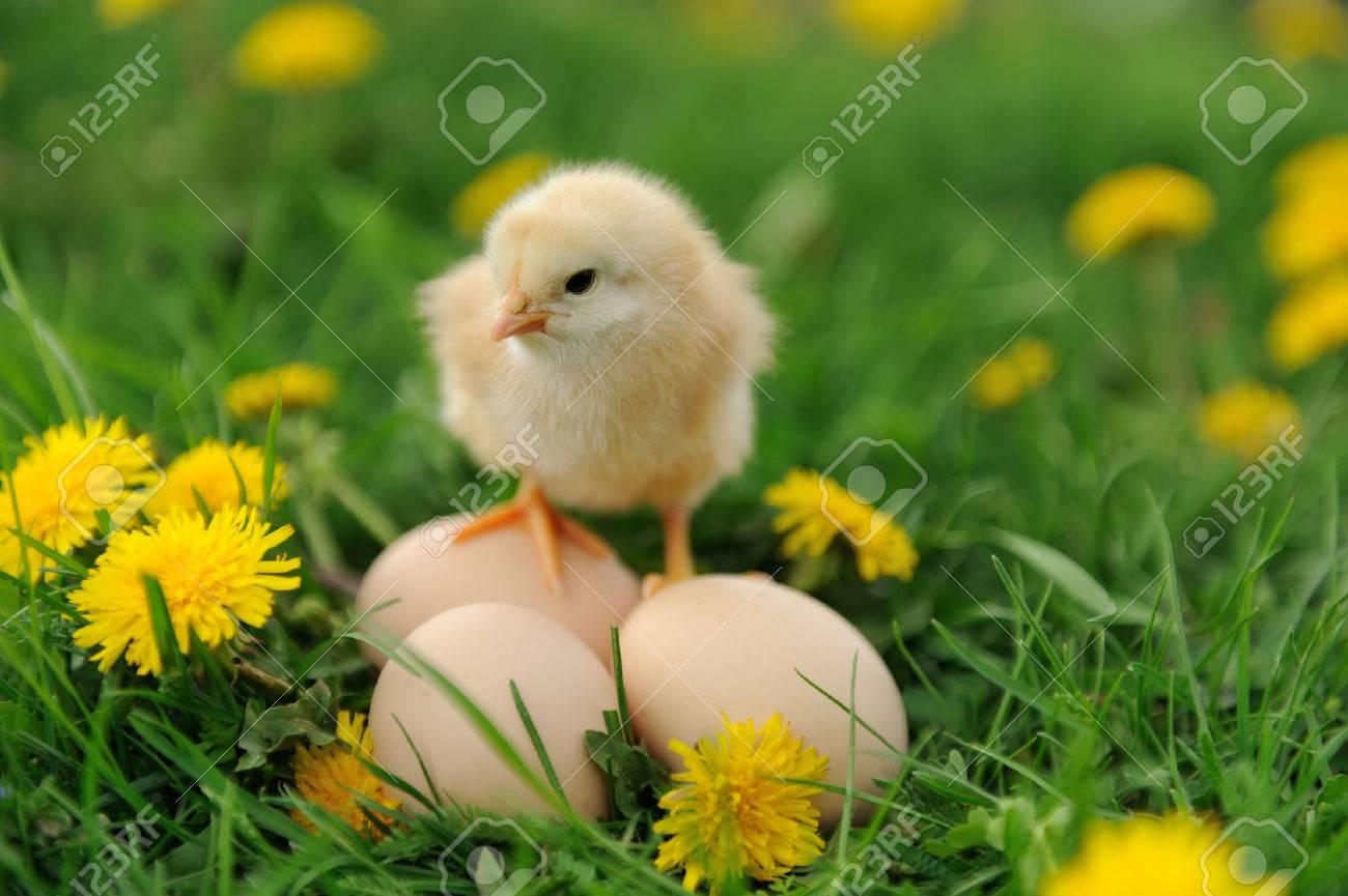 Little chicken and egg on the grass Standard-Bild - 40239525