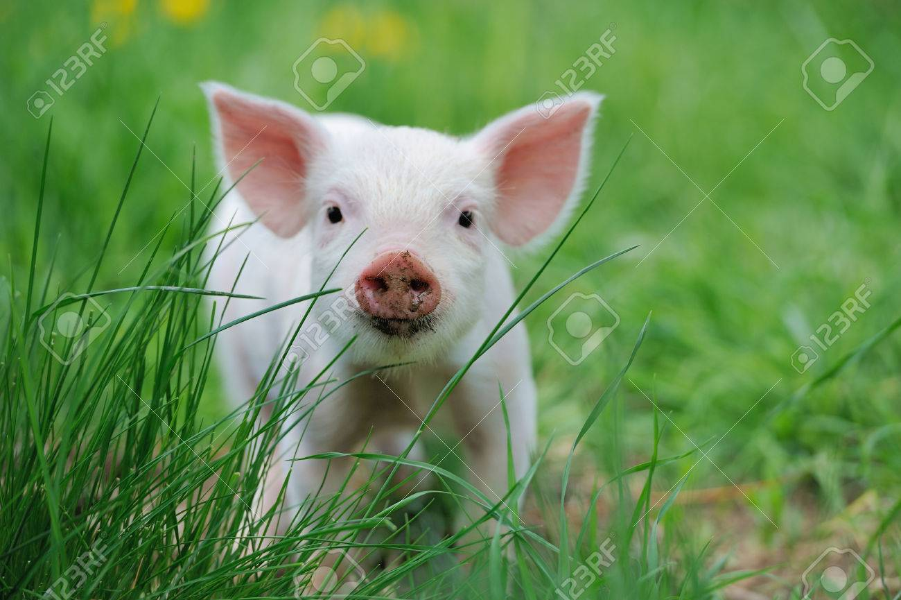 Piglet on spring green grass on a farm Standard-Bild - 40240311