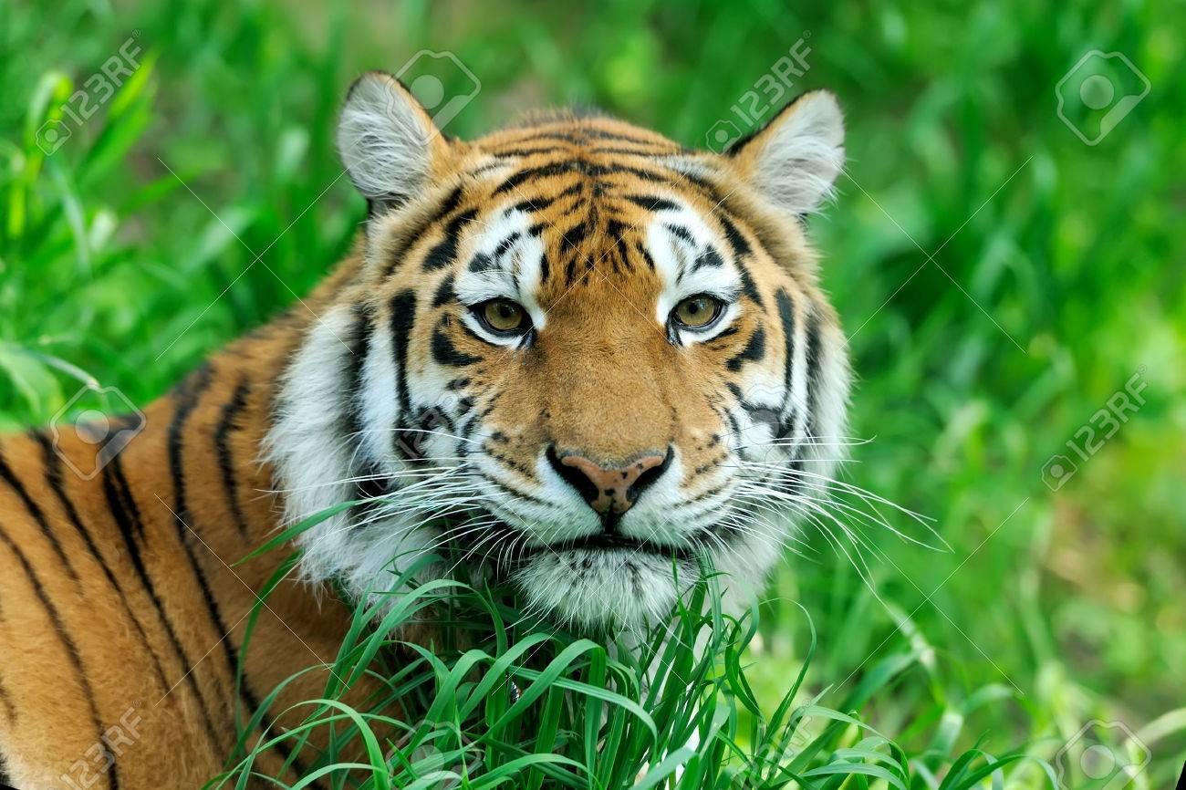Amur Tigers on a geass in summer day Standard-Bild - 40886637